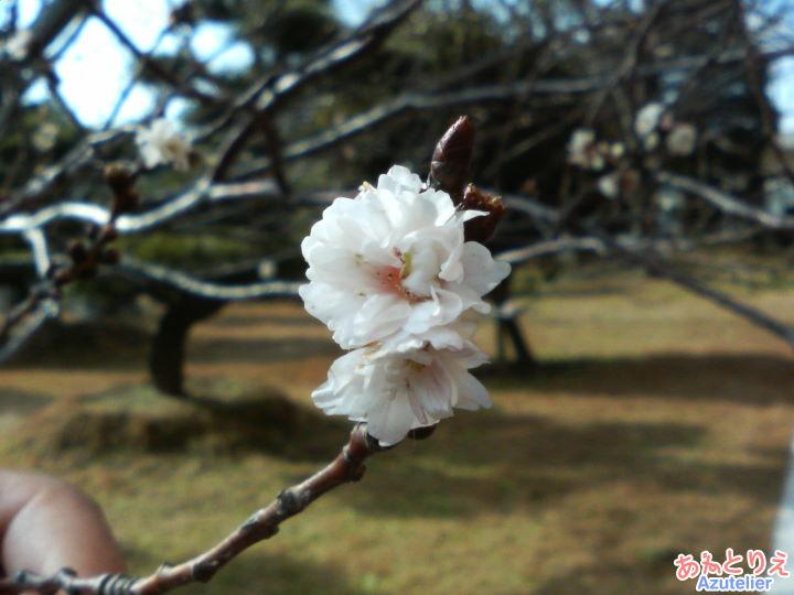 幸田町役場の四季桜