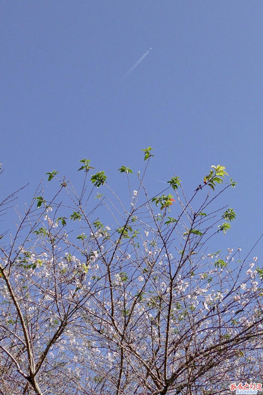 四季桜と飛行機雲