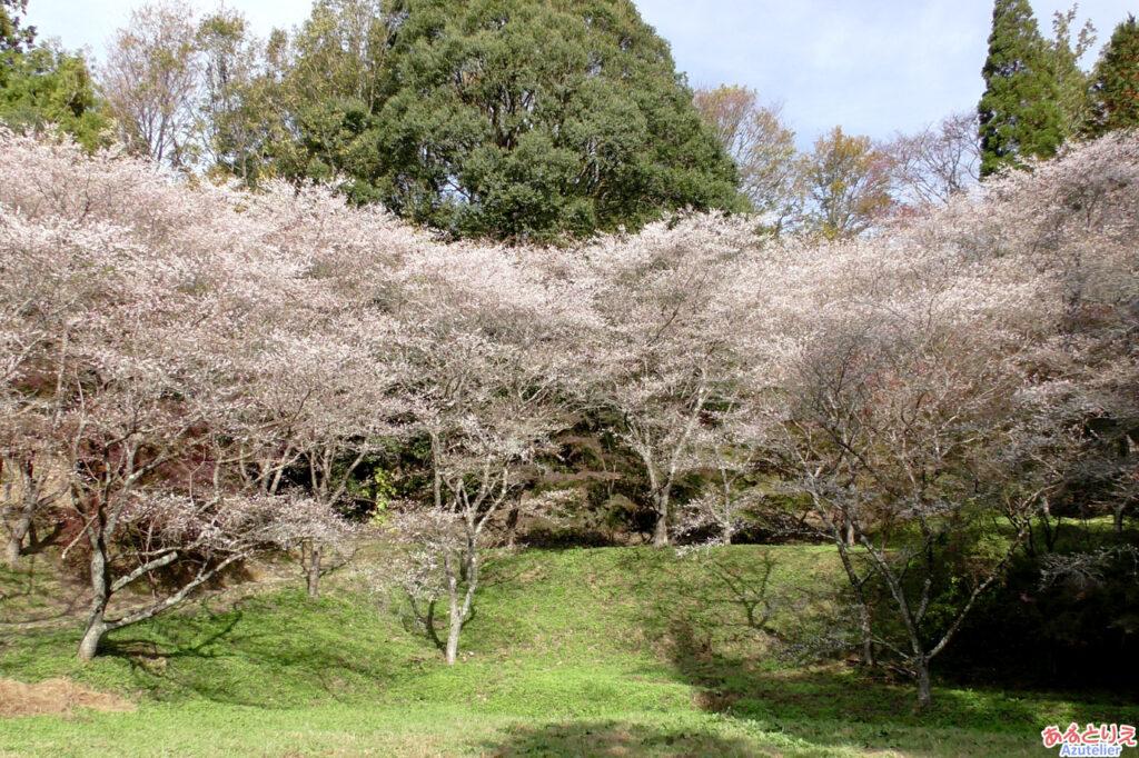 さんざ畑脇の四季桜