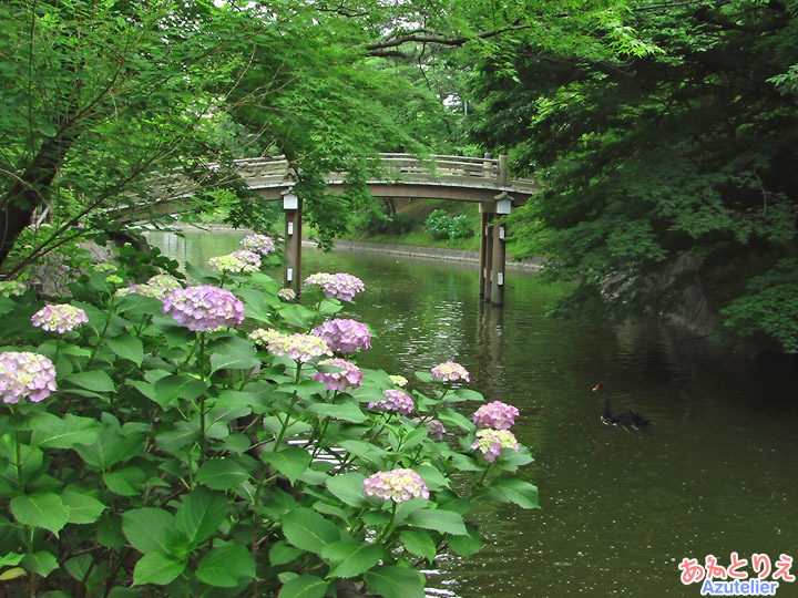 アジサイと池