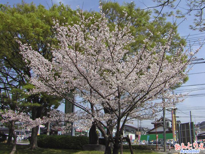 入口の桜一本木