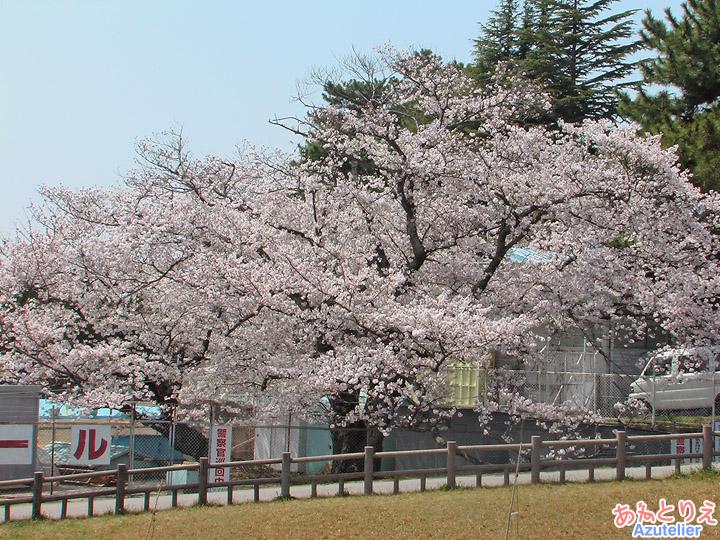 プールのそばの桜