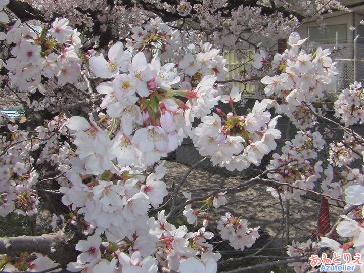 プールのそばの桜アップ