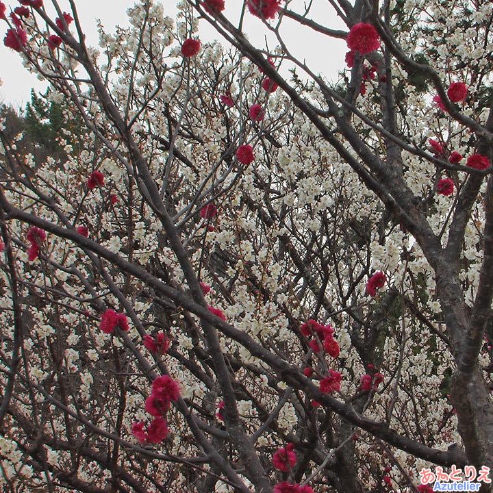 白梅の中に真っ赤な梅の花ポツポツ(葵梅林)