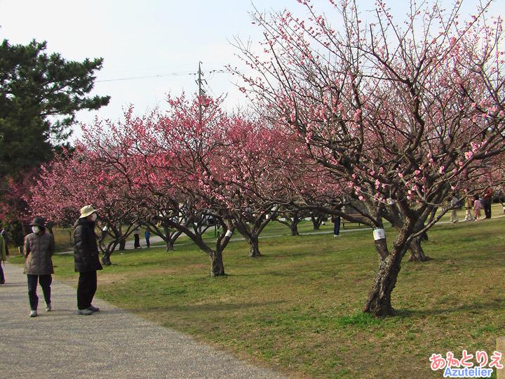 梅のお花見(葵梅林)