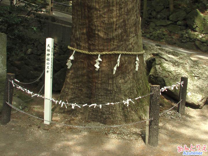 天祖神社の杉