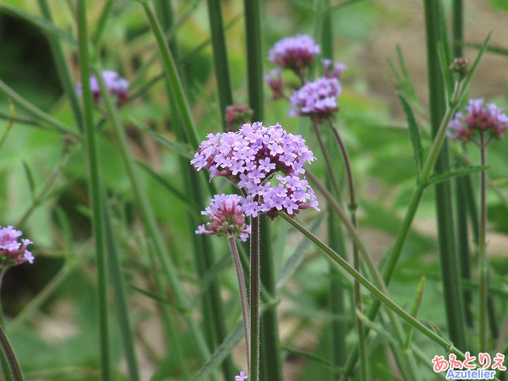 ラベンダー色の小さな花