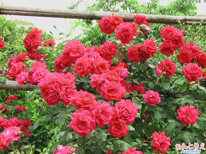 つるバラ赤