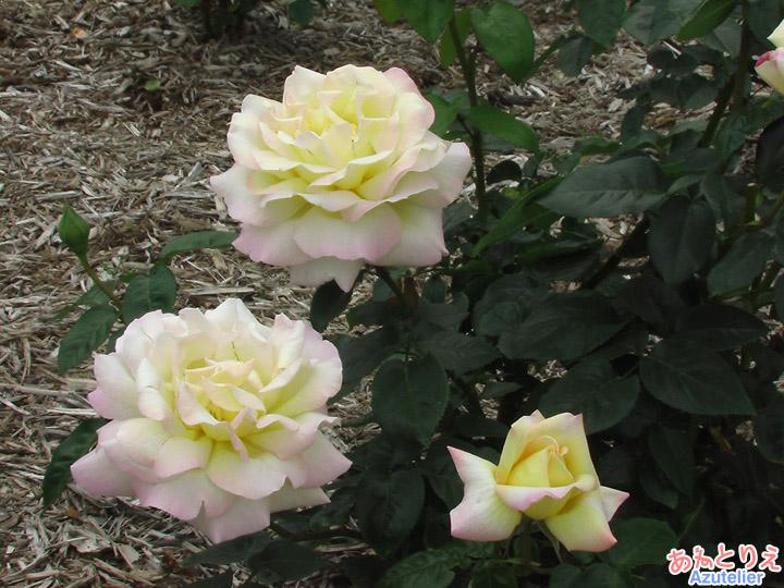 黄に白縁は薄ピンク