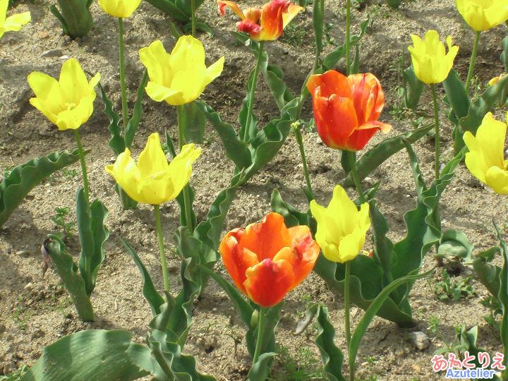 黄色と朱色のチューリップ