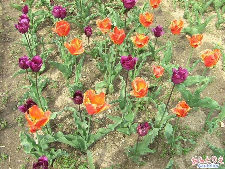 橙と紫のチューリップ
