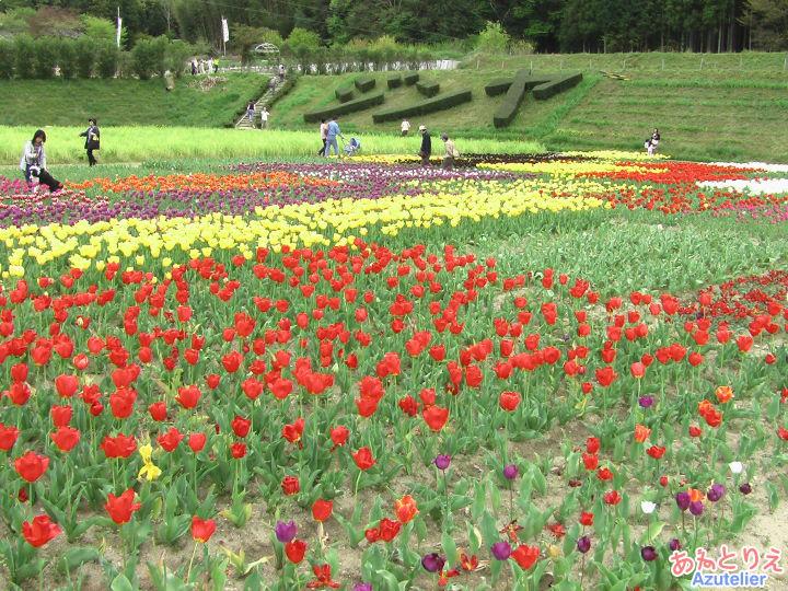 チューリップ畑、全景