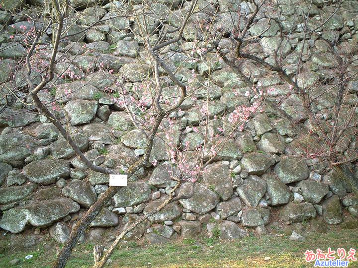 梅の花(龍城堀)