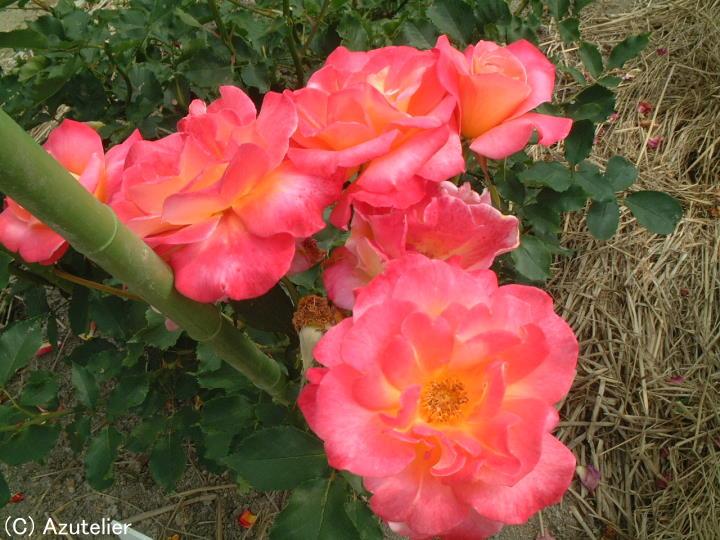 オレンジがかったピンクのバラ