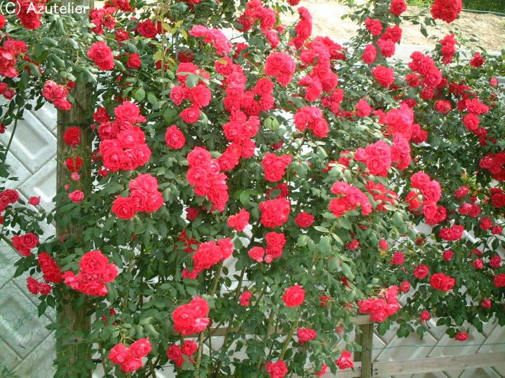 赤いバラ・生垣