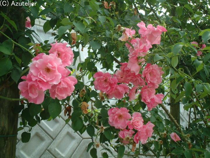 ピンクのバラ・生垣