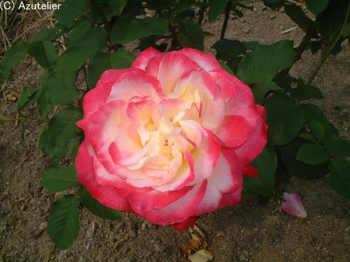 桃白のバラ