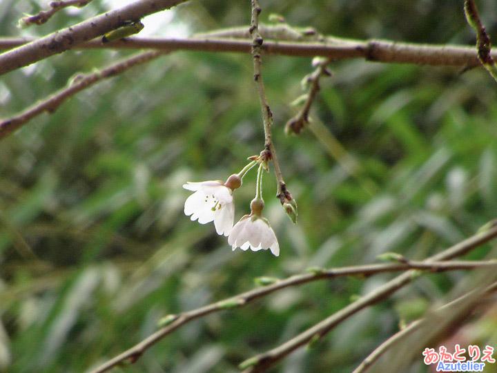 しだれ桜2世(2011年)