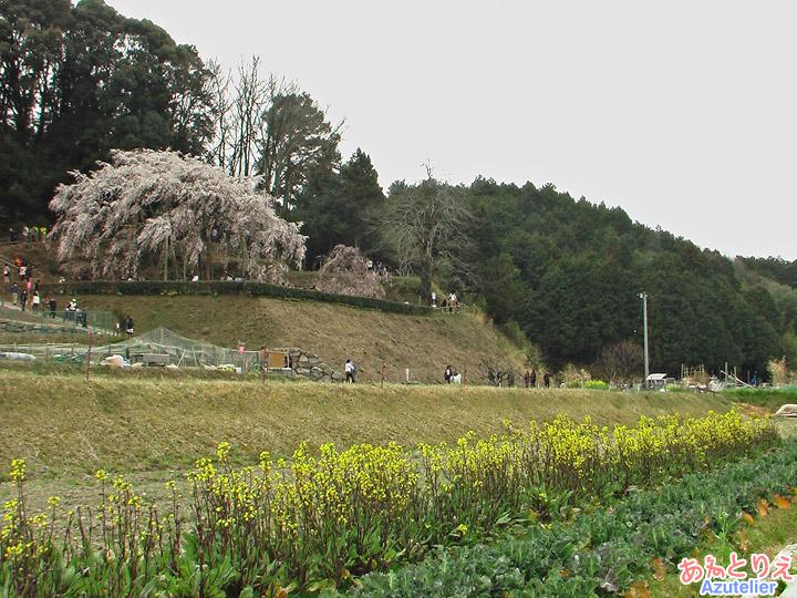 菜の花としだれ桜