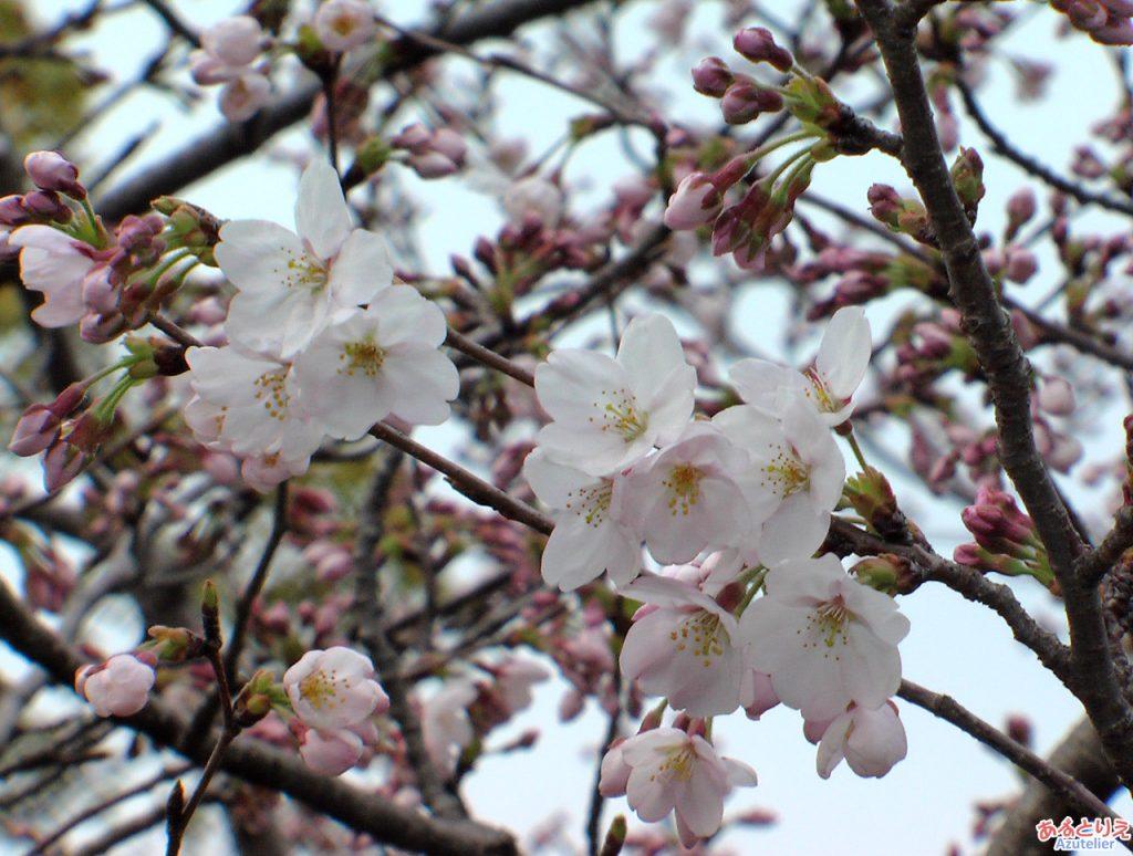 今年の一番咲き