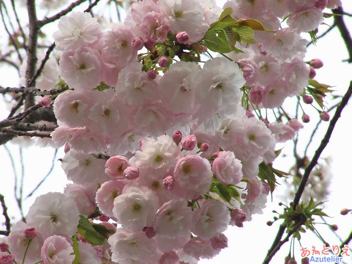 昔は八重桜が、回想
