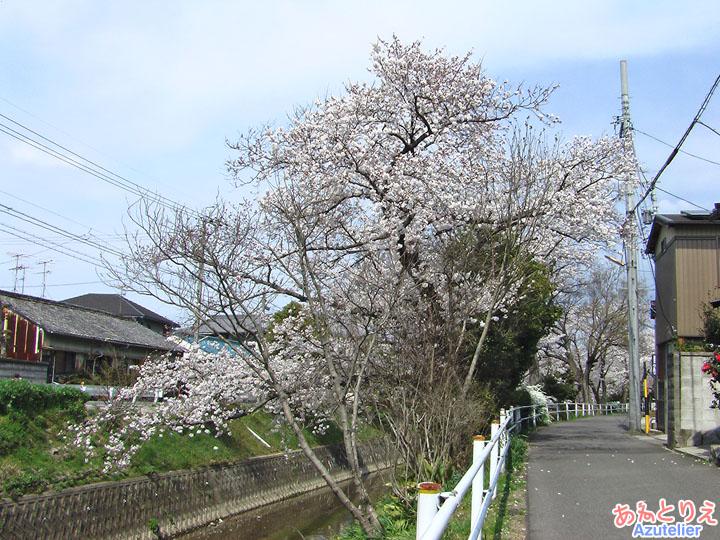 これより桜並木