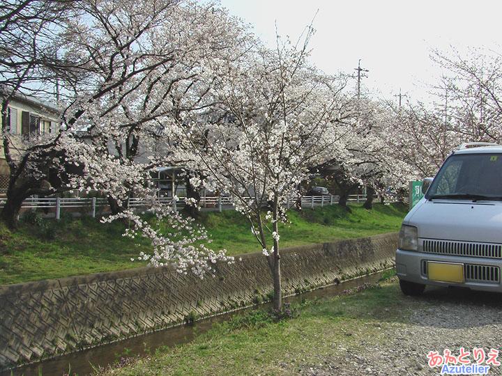 若い桜も..