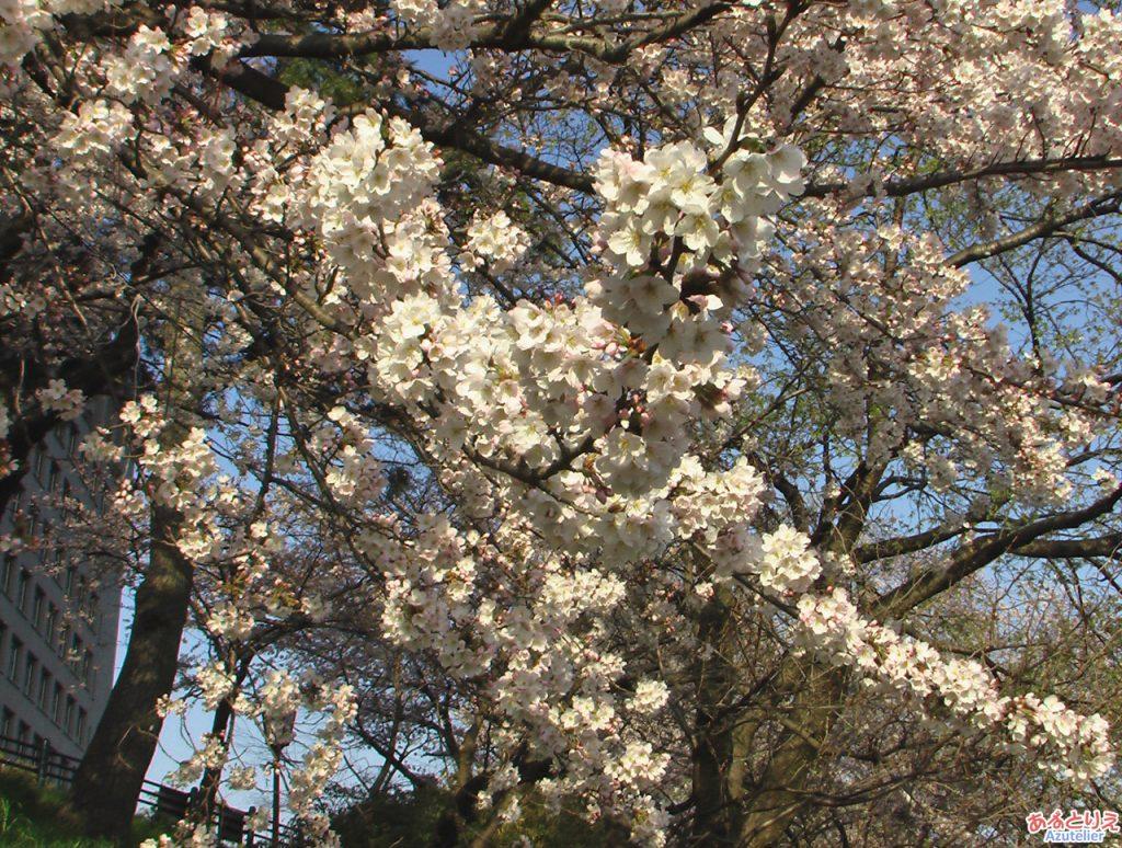 乙川の桜(殿橋と明大橋の間)