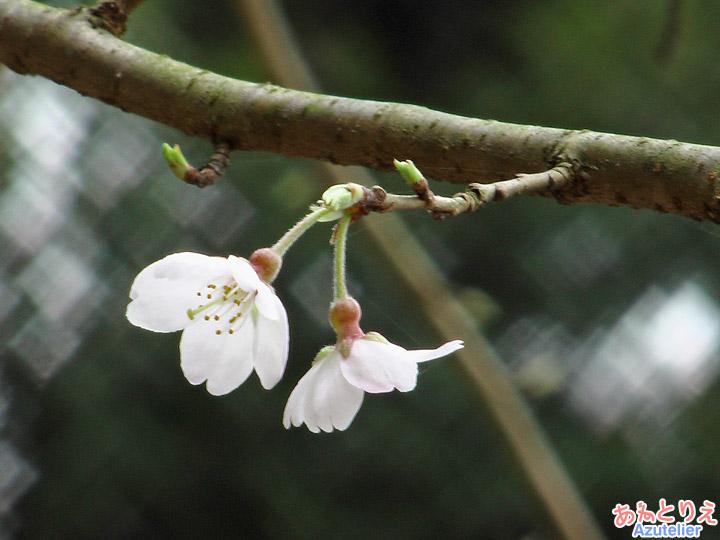 しだれ桜2世