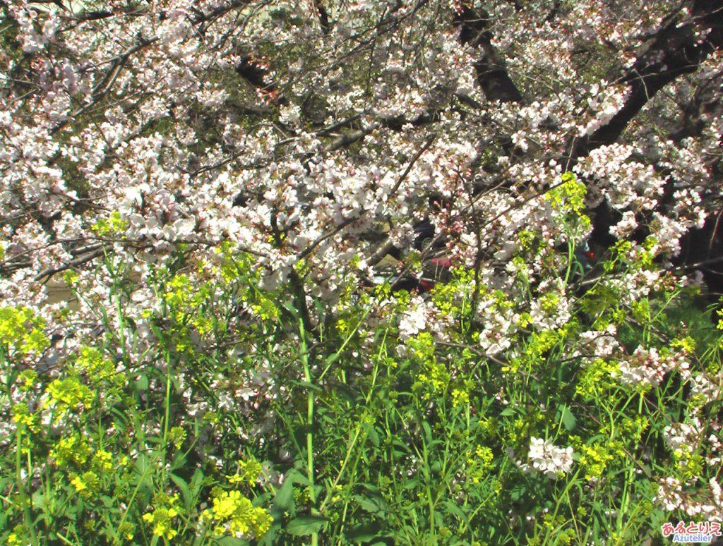 桜と菜の花(殿橋脇)