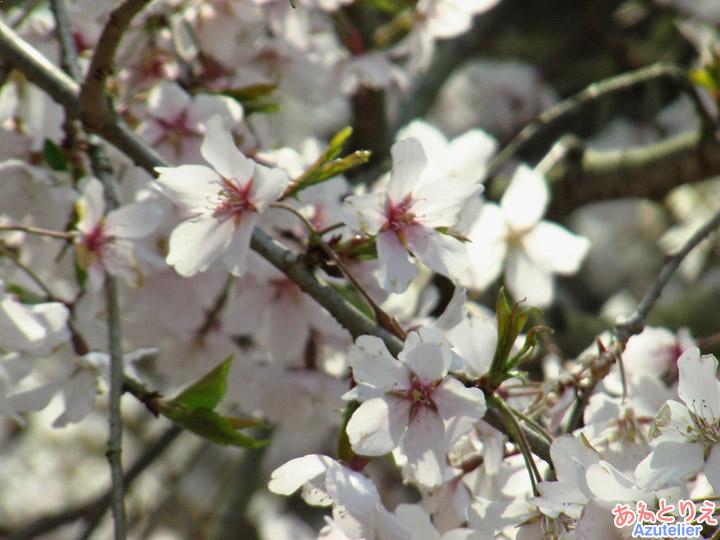 若木の花アップ