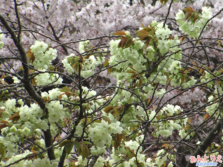 咲き始め、桜との対比