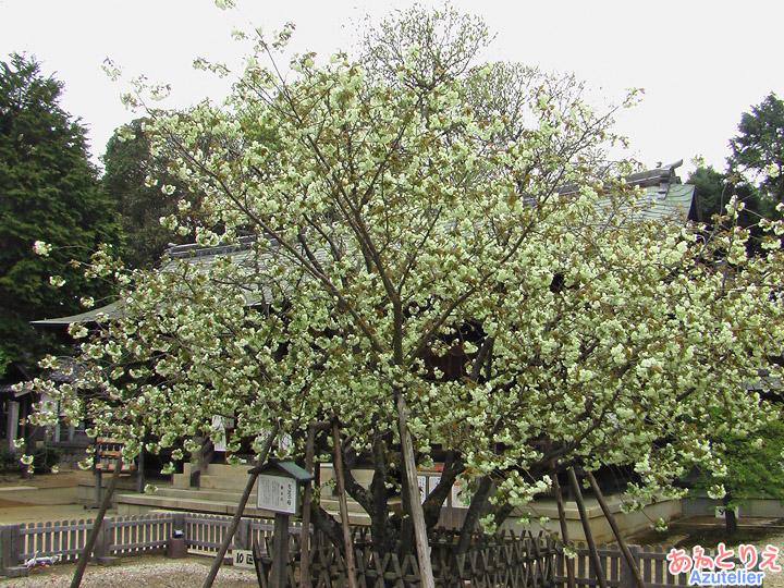 咲き始め木全体