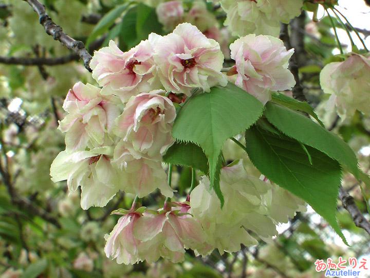 咲き中-咲き終わり