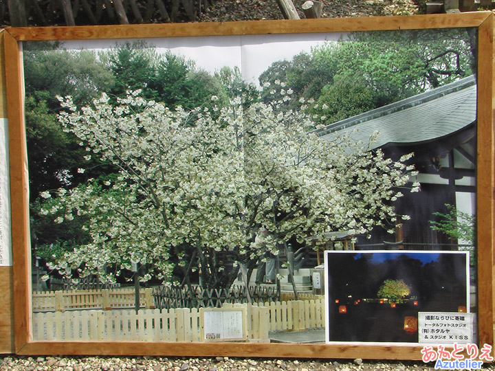 鬱金桜写真