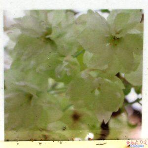 鬱金桜の楽しみ方-咲き始め