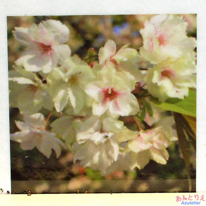 鬱金桜の楽しみ方-咲き中