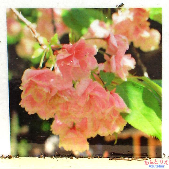 鬱金桜の楽しみ方-咲きおわり