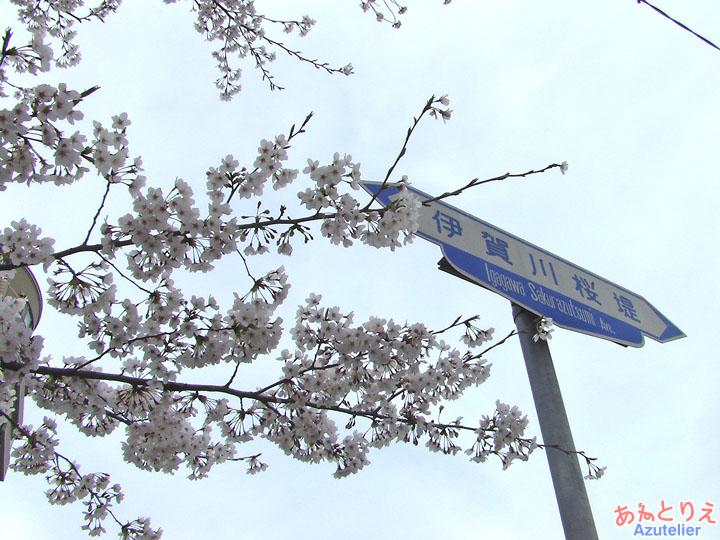 昔は八重桜が