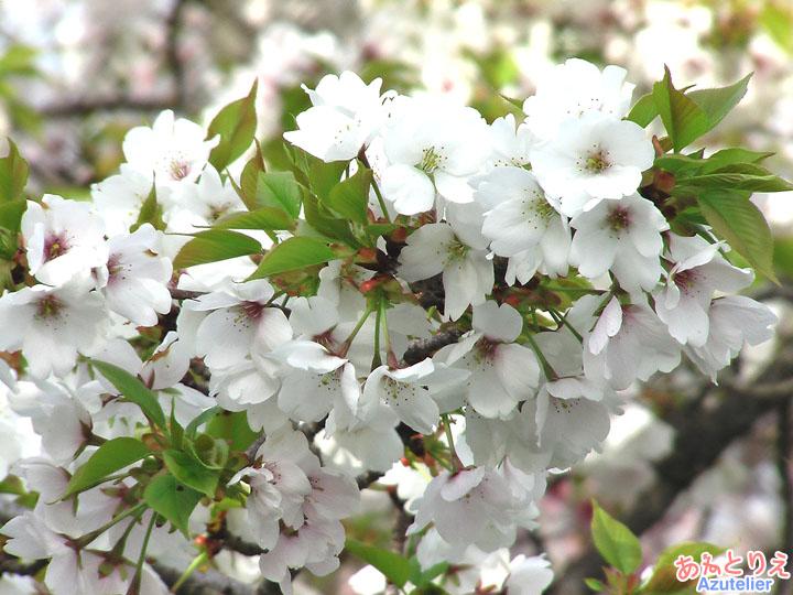 最初は白い花が...花アップ