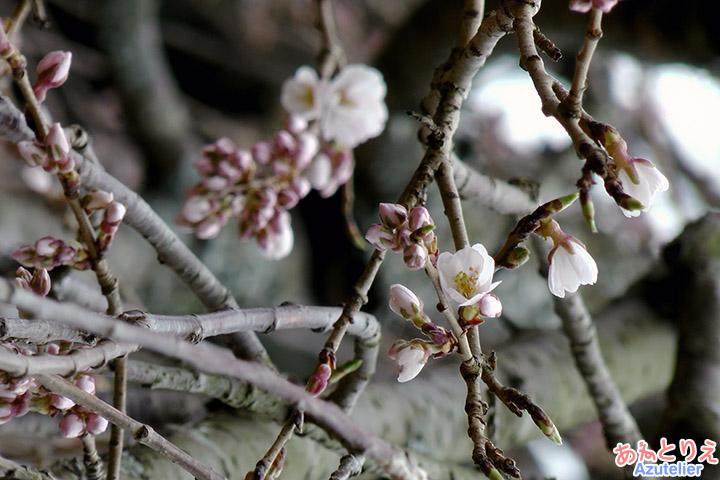 咲き始め(花アップ)