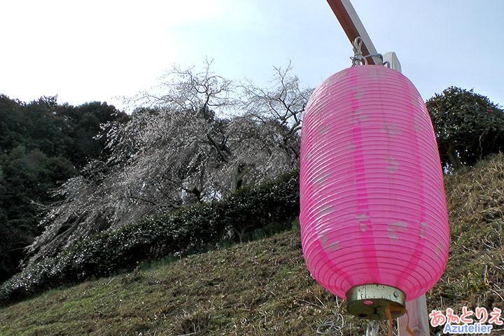 提灯としだれ桜