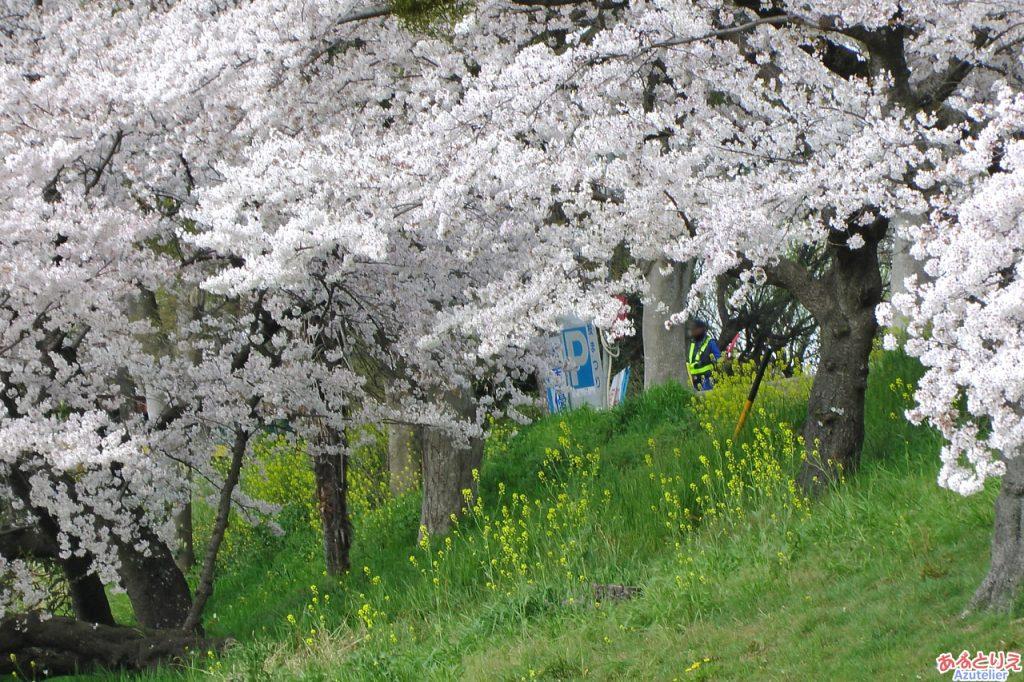 竹千代橋付近の桜(菜の花アップ)