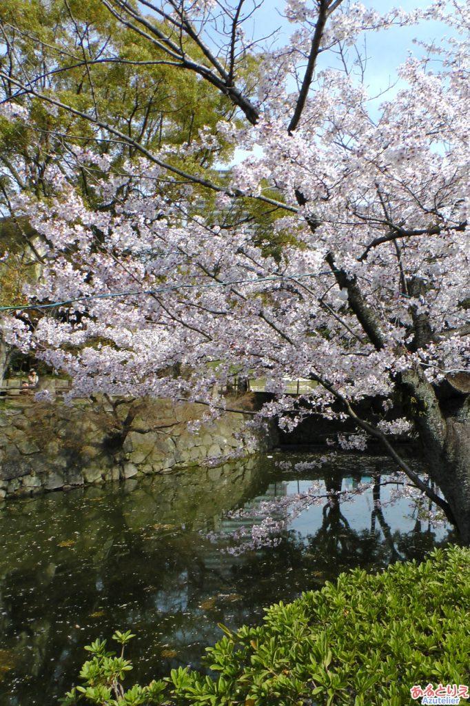 例年だったらこの桜の木が一番に咲くはず。