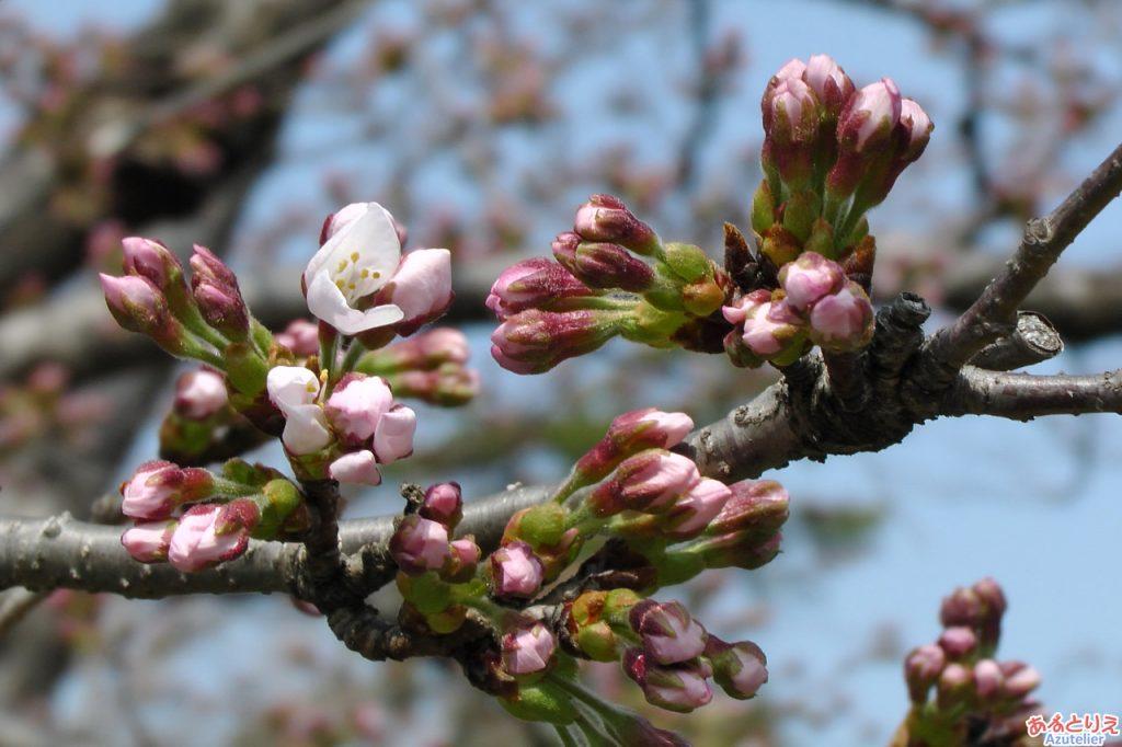 今年の一番咲き?(五万石藤北側の桜)