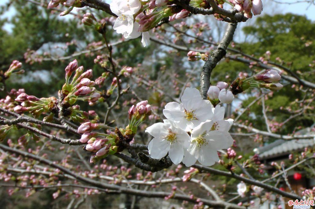 今年の一番咲き?(葵松庵前の桜)