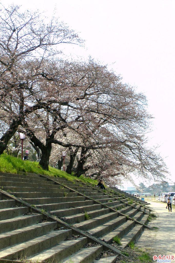 桜まつり始まりました♪