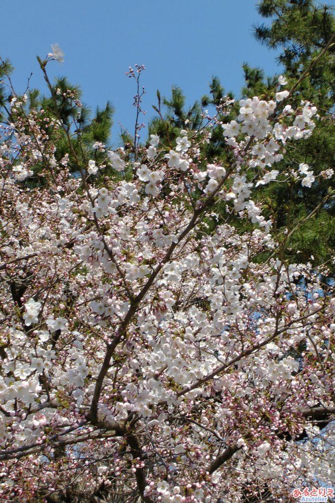 咲いているところは咲いていますよ♪