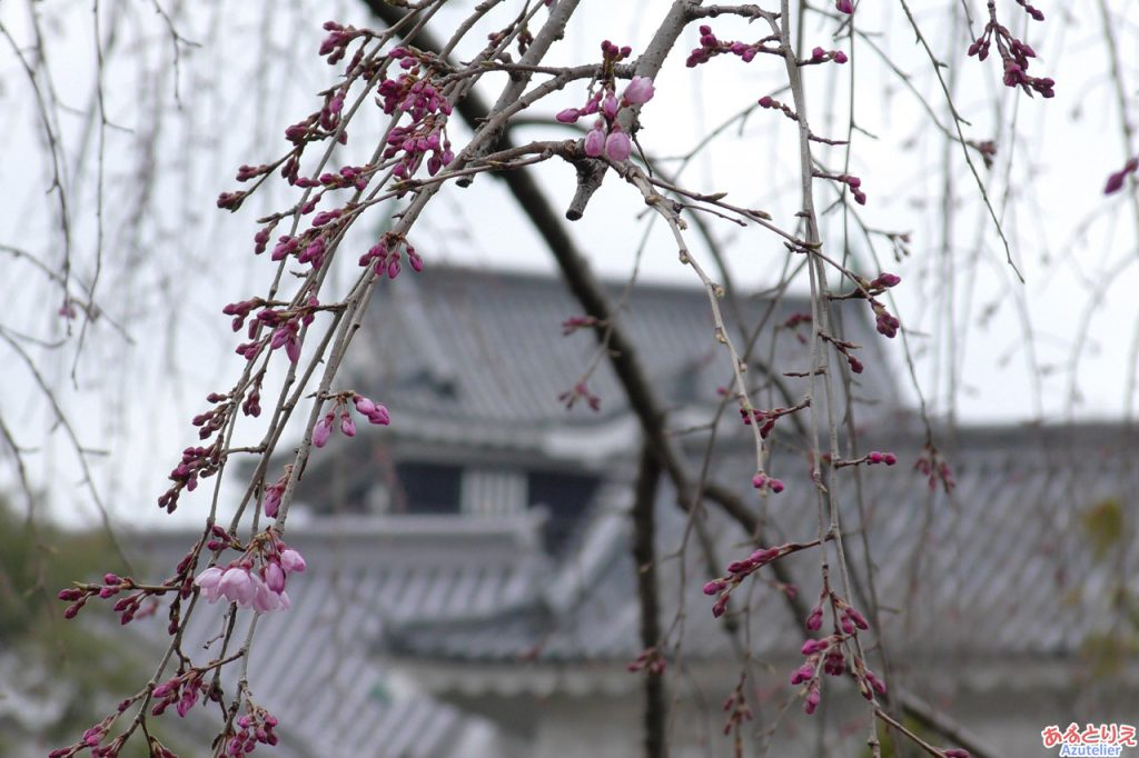 AZUおススメのしだれ桜