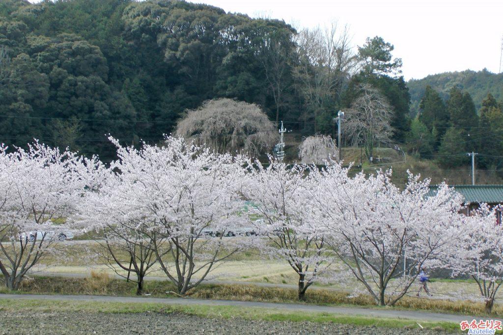 しだれ桜とソメイヨシノのコラボ☆ミ